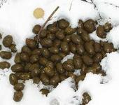 Нажмите на изображение для увеличения Название: scat_moose_winter.jpg Просмотров: 8 Размер:13.2 Кб ID:426177